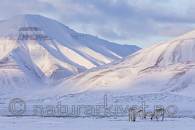 KA_180302_101 / Rangifer tarandus platyrhynchus / Svalbardrein