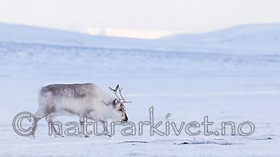 KA_180302_106 / Rangifer tarandus platyrhynchus / Svalbardrein