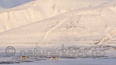 KA_180302_65 / Rangifer tarandus platyrhynchus / Svalbardrein