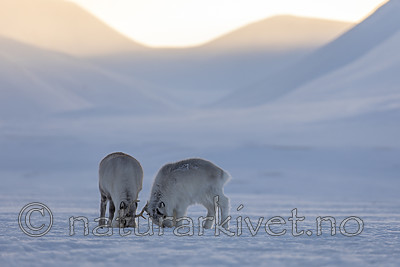 KA_180304_12 / Rangifer tarandus platyrhynchus / Svalbardrein