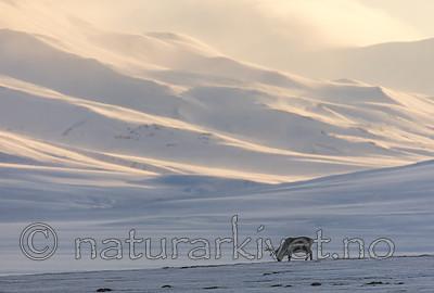 KA_180304_140 / Rangifer tarandus platyrhynchus / Svalbardrein