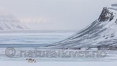 KA_180304_193 / Rangifer tarandus platyrhynchus / Svalbardrein