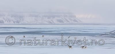 KA_180304_195 / Rangifer tarandus platyrhynchus / Svalbardrein