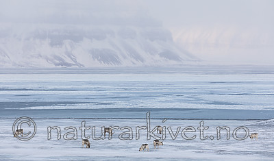 KA_180304_199 / Rangifer tarandus platyrhynchus / Svalbardrein