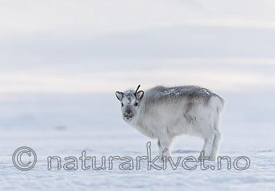 KA_180304_8 / Rangifer tarandus platyrhynchus / Svalbardrein