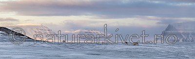KA_180304_p217-221 / Rangifer tarandus platyrhynchus / Svalbardrein
