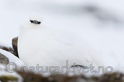 KA_180305_117 / Lagopus muta hyperborea / Svalbardrype