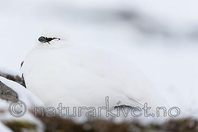 KA_180305_120 / Lagopus muta hyperborea / Svalbardrype