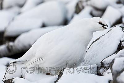 KA_180305_155 / Lagopus muta hyperborea / Svalbardrype