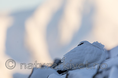 KA_180305_180 / Lagopus muta hyperborea / Svalbardrype