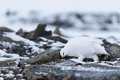 KA_180305_98 / Lagopus muta hyperborea / Svalbardrype