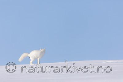 KA_180412_400 / Vulpes lagopus / Fjellrev