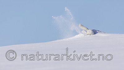 KA_180412_434 / Vulpes lagopus / Fjellrev