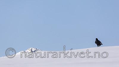 KA_180412_438 / Corvus corax / Ravn <br /> Vulpes lagopus / Fjellrev