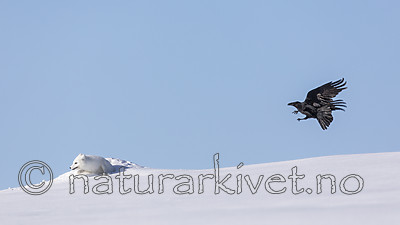 KA_180412_440 / Corvus corax / Ravn <br /> Vulpes lagopus / Fjellrev