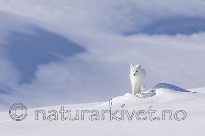 KA_180412_489 / Vulpes lagopus / Fjellrev