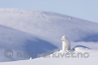 KA_180412_499 / Vulpes lagopus / Fjellrev