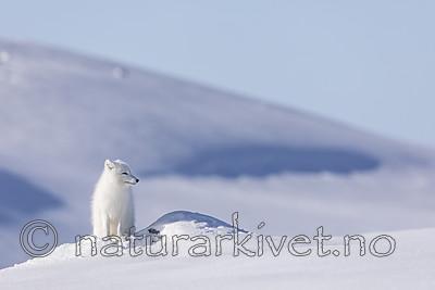 KA_180412_506 / Vulpes lagopus / Fjellrev