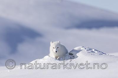 KA_180412_545 / Vulpes lagopus / Fjellrev