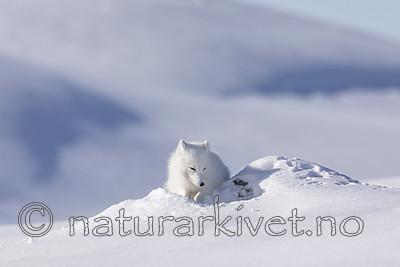 KA_180412_546 / Vulpes lagopus / Fjellrev