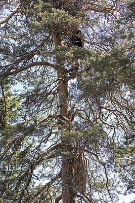 KA_180608_51 / Haliaeetus albicilla / Havørn
