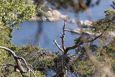 KA_180608_8 / Haliaeetus albicilla / Havørn