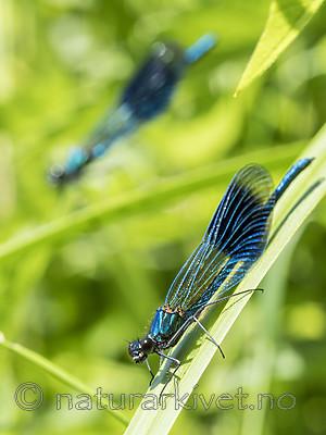 KA_180616_104 / Calopteryx splendens / Blåbånd-vannymfe