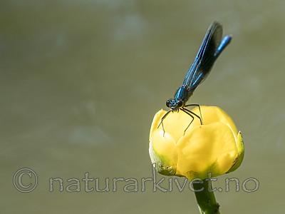 KA_180616_25 / Calopteryx splendens / Blåbånd-vannymfe <br /> Nuphar lutea / Gul nøkkerose