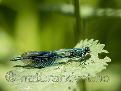 KA_180616_50 / Calopteryx splendens / Blåbånd-vannymfe