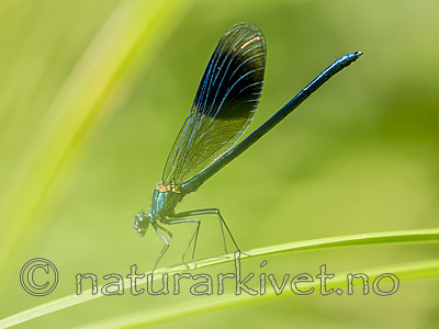 KA_180616_74 / Calopteryx splendens / Blåbånd-vannymfe