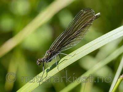 KA_180616_85 / Calopteryx virgo / Blåvingevannymfe
