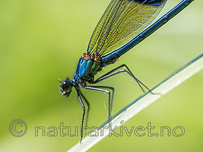 KA_180616_95 / Calopteryx splendens / Blåbånd-vannymfe