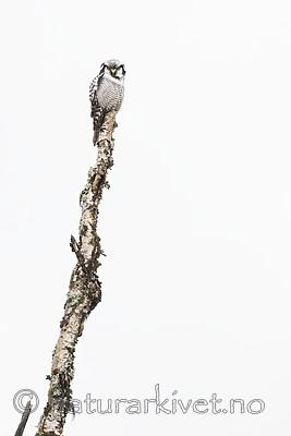 KA_180822_84 / Surnia ulula / Haukugle