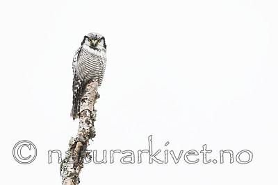 KA_180822_86 / Surnia ulula / Haukugle