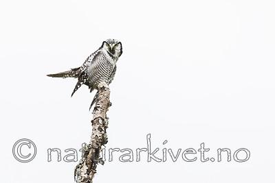 KA_180822_88 / Surnia ulula / Haukugle