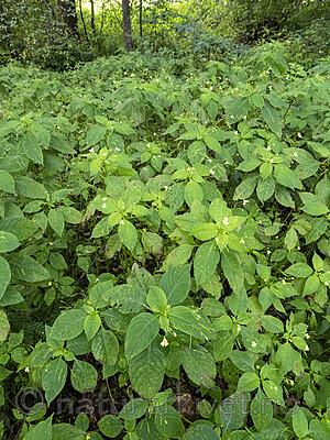 KA_190903_48 / Impatiens parviflora / Mongolspringfrø