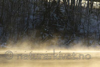 KA_191129_45 / Mergus merganser / Laksand