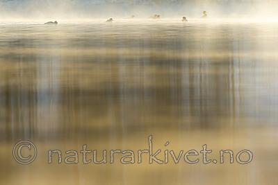 KA_191129_57 / Mergus merganser / Laksand