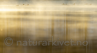 KA_191129_58 / Mergus merganser / Laksand