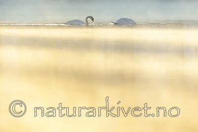 KA_191129_80 / Cygnus olor / Knoppsvane