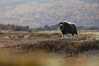 KA_200925_52 / Ovibos moschatus / Moskusfe