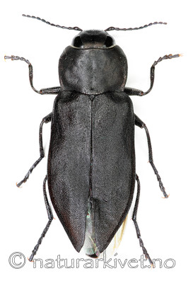 KA_acuminata_over / Melanophila acuminata / Sotpraktbille