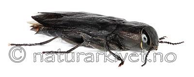 KA_acuminata_side / Melanophila acuminata / Sotpraktbille