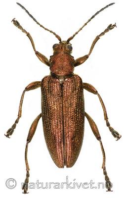 KA_brevicornis / Donacia brevicornis