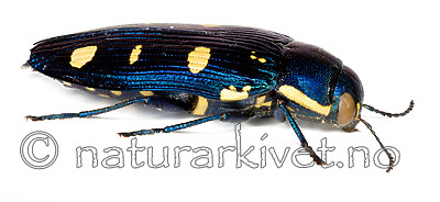 KA_octoguttata_side / Buprestis octoguttata / åtteflekkpraktbille