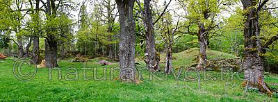 KA_panorama_eiker / Quercus robur / Sommereik