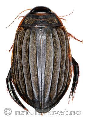 KA_sulcatus / Acilius sulcatus