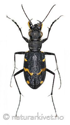 KA_sylvatica_over / Cicindela sylvatica