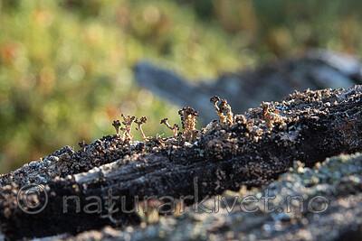 SIG_0241 / Cladonia parasitica / Furuskjell