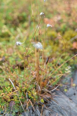 SIG_0325 / Eriophorum brachyantherum / Gulmyrull
